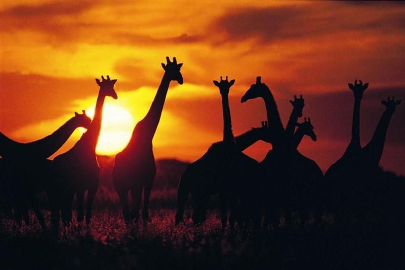 Giraffe herd in silhouette against sunset